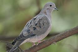 eared-dove11