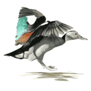 RINGED-TEAL