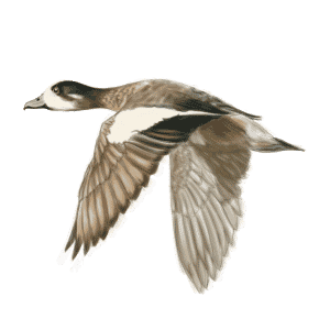 SOUTHERN-WIGEON