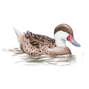 WHITE-CHEEKED-PINTAIL