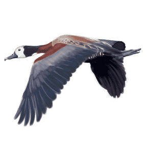 WHITE-FACED-WHISTLING-DUCK
