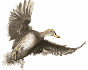 YELLOW--BILLED-PINTAIL