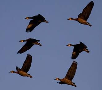 Duck Species