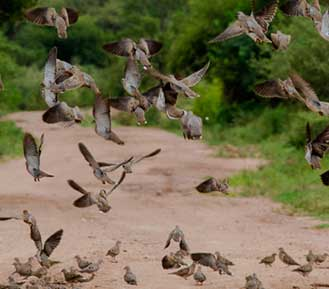 Bird Hunting by species - Dove hunting