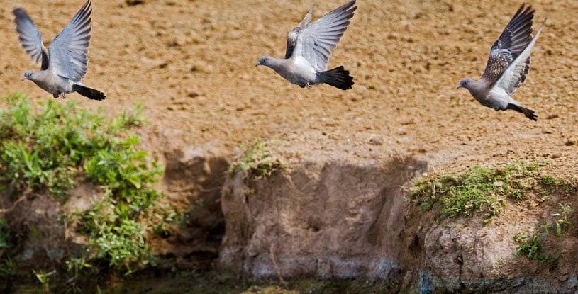 specie-pigeon